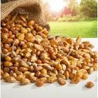 Dilek Kuruyemiş 1 kg Mısır Kavurgası