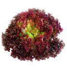 Kırmızı Kıvırcık Marul (Adet)